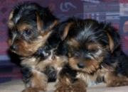 Adorable yorkie cachorros para su aprobación