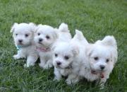 Regalo cachorros maltese